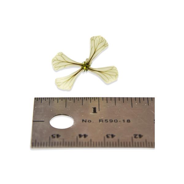 Fresh Arugula Blossoms-3