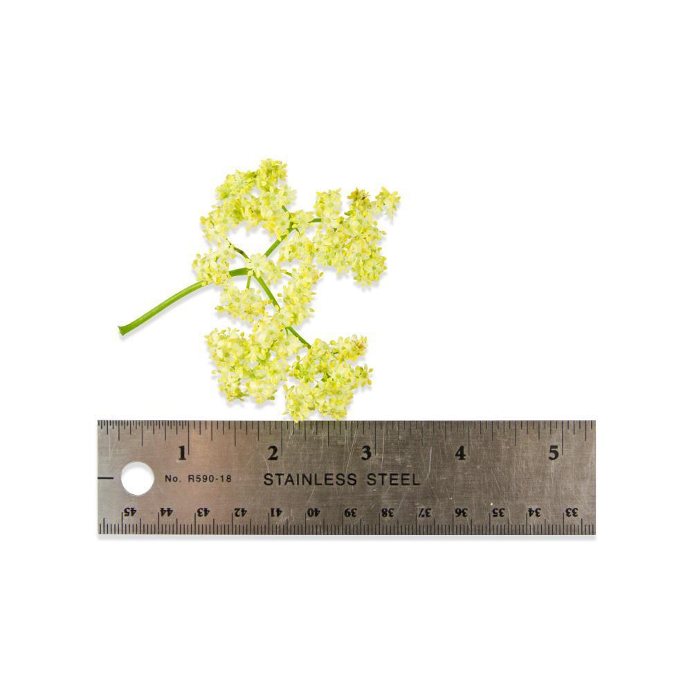Fresh Elderflowers-3