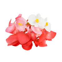 Fresh Begonia Flower Mix-1