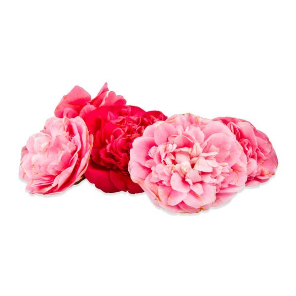 Fresh Camellias-1