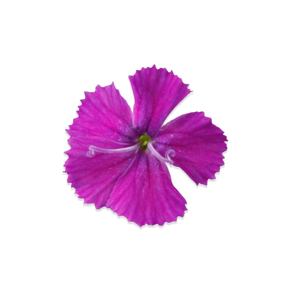 Edible micro dianthus flowers for sale marx foods fresh micro dianthus 2 mightylinksfo