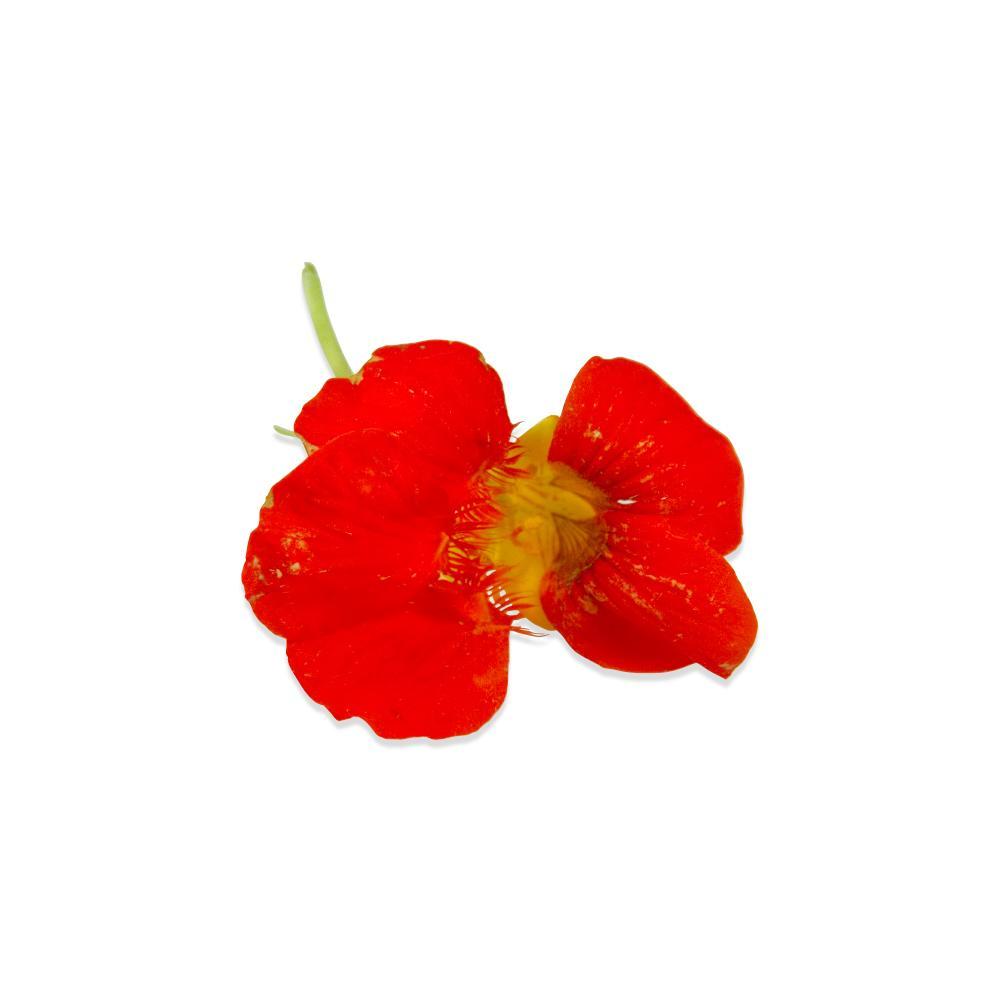 Fresh Nasturtium Flowers & Leaves-3