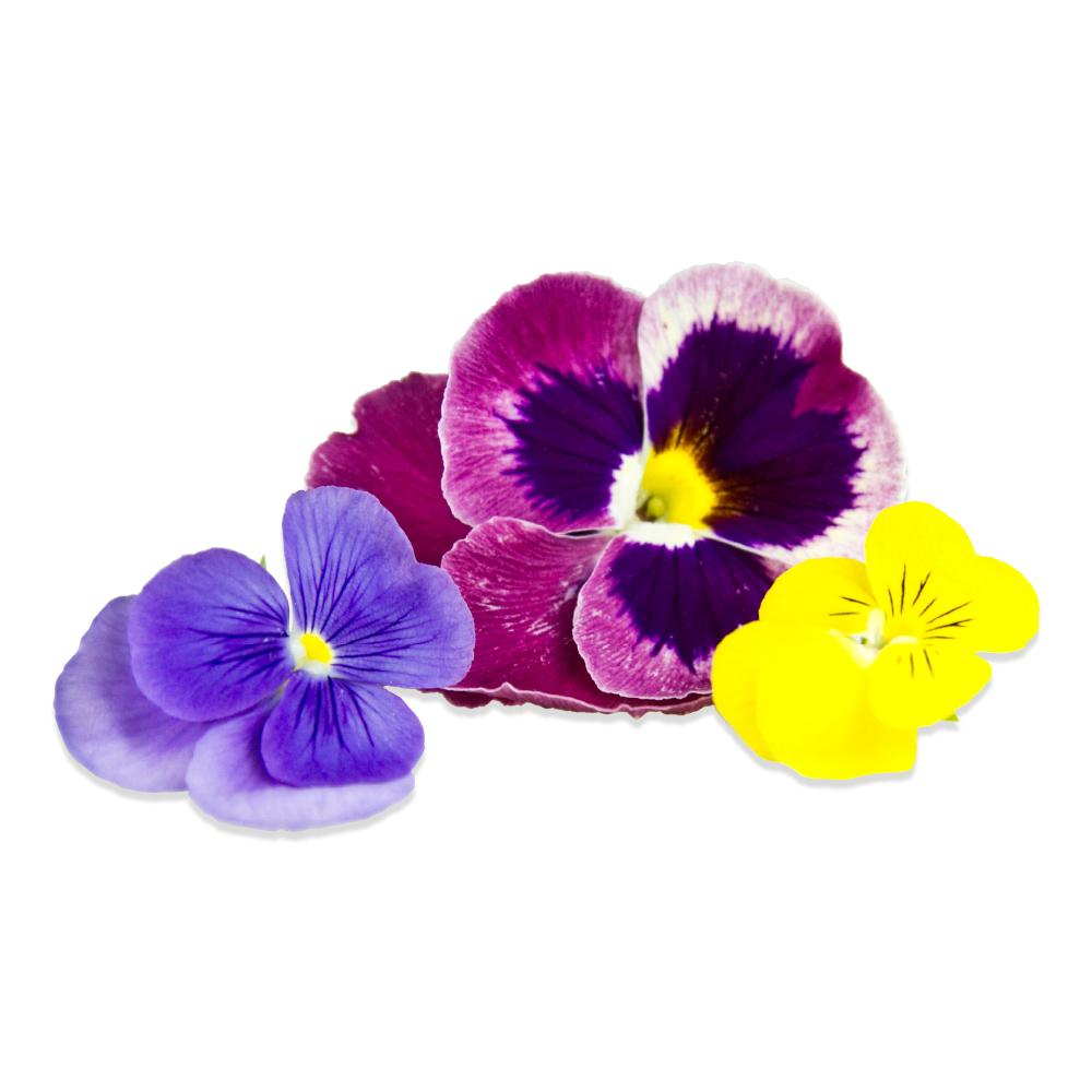 blue, purple & yellow fresh edible pansy blossoms
