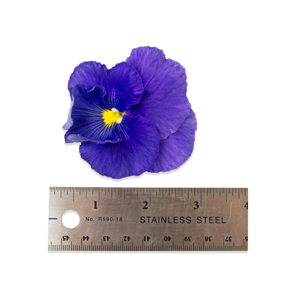 a purple pansy blossom above a 4-inch ruler