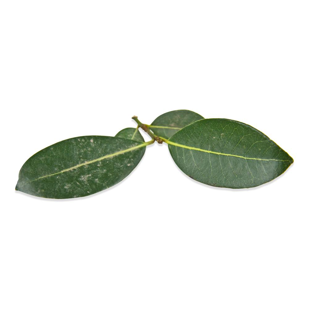 Fresh California Bay Leaves