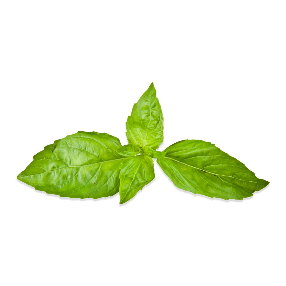 Fresh Sweet Basil