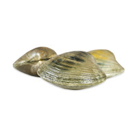 Large Quahog Clams
