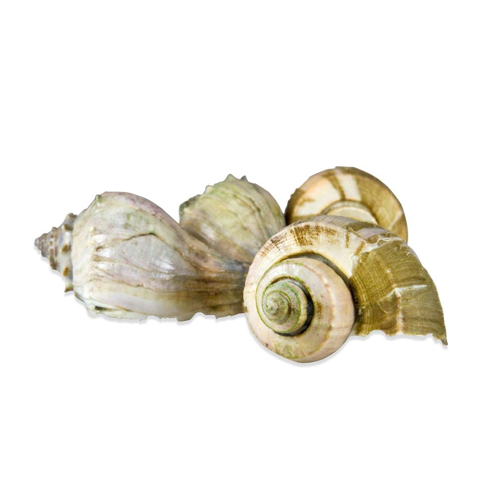 Live Channeled Whelks