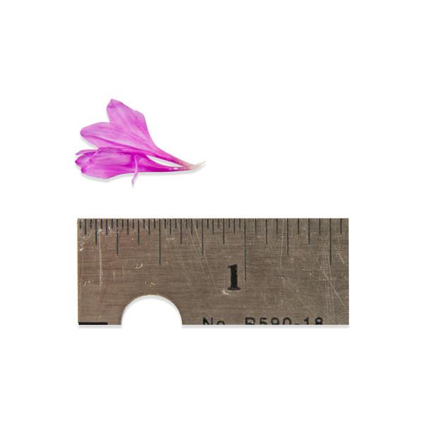 Fresh Micro Bachelor's Button Florets ™-1