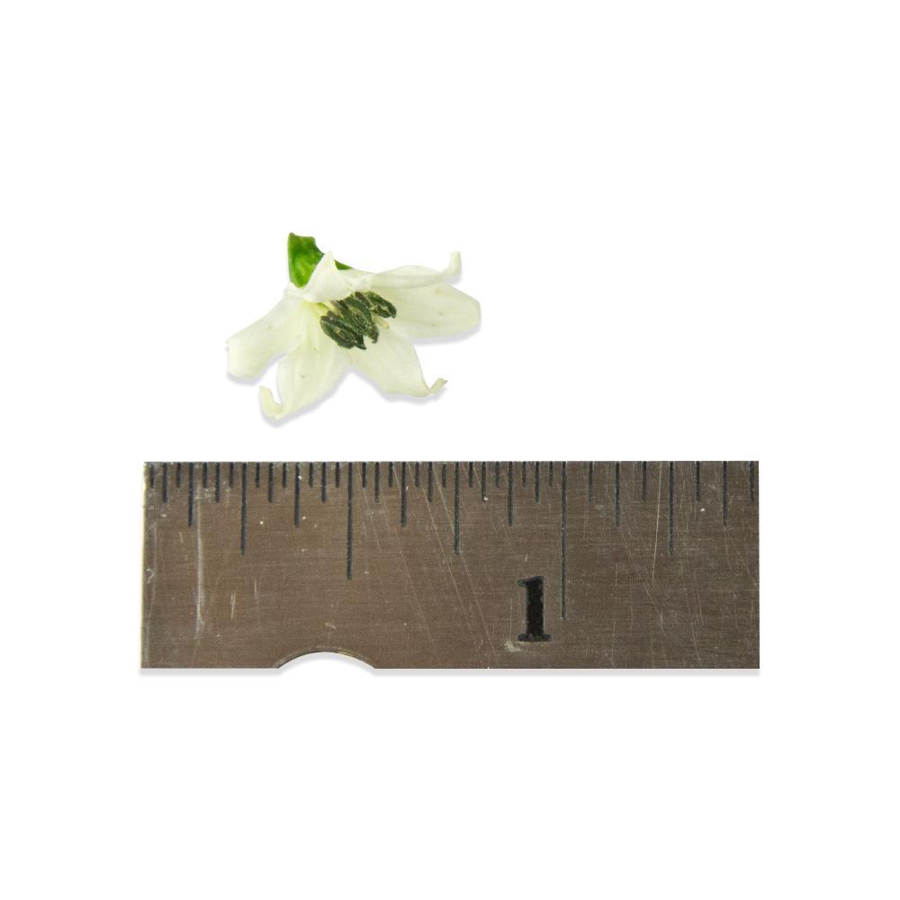 Fresh Micro Pepper Flower White-3