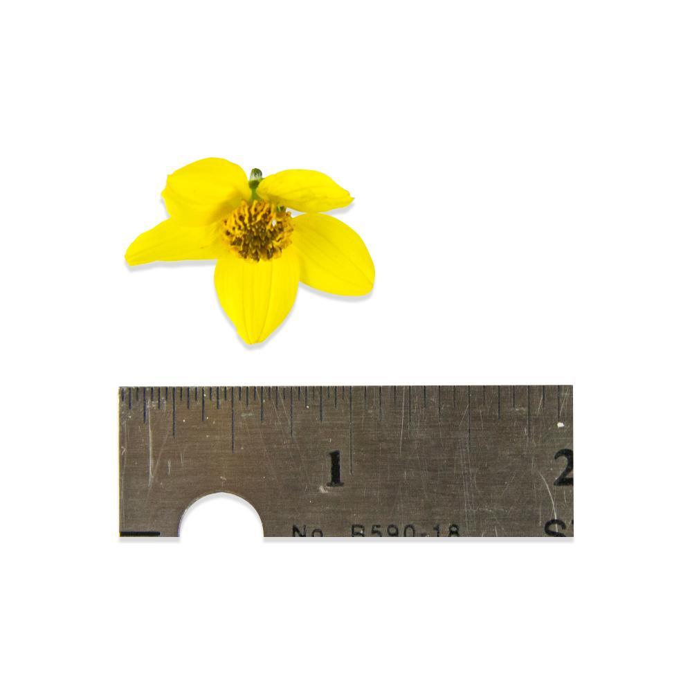 Fresh Micro Sun Daisy™-1