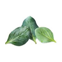 Oyster Leaf
