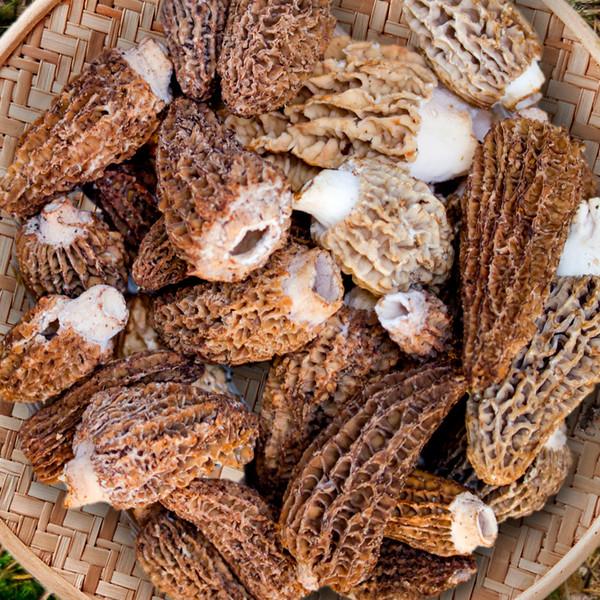 Fresh Wild Morel Mushrooms-3