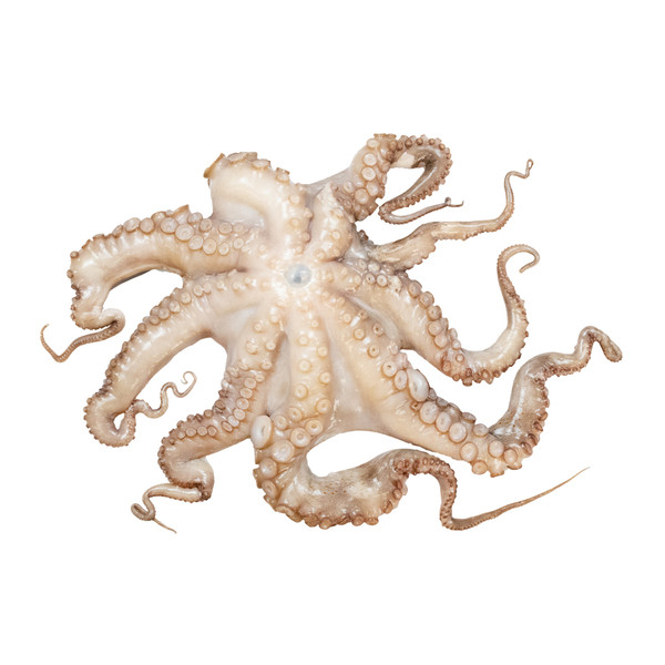whole raw octopus