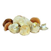 Raw fresh wild hedgehog mushrooms